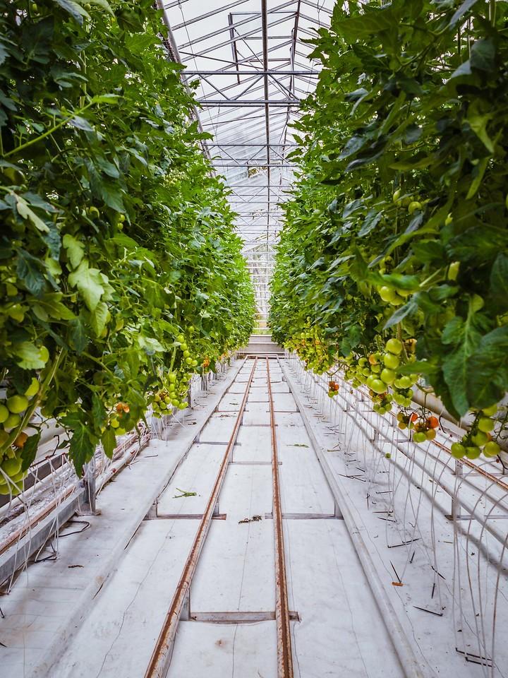 冰岛弗里德海默番茄农场(Frioheimar tomato farm),看马术尝番茄_图1-11