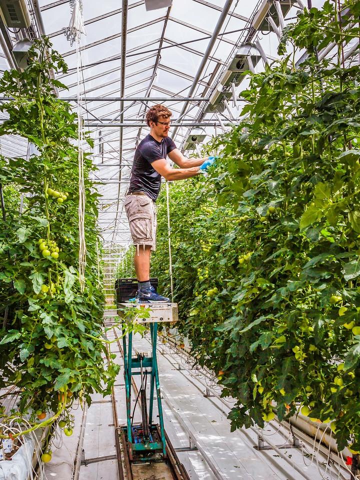冰岛弗里德海默番茄农场(Frioheimar tomato farm),看马术尝番茄_图1-6
