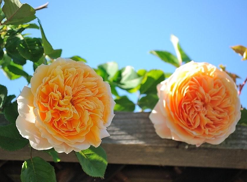 仲夏玫瑰---2_图1-3