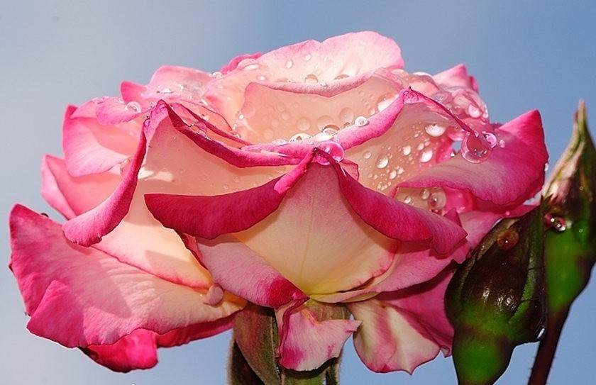 仲夏玫瑰---2_图1-4