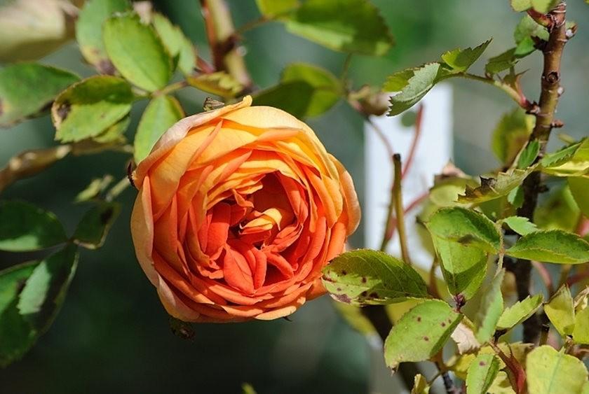 仲夏玫瑰---2_图1-5
