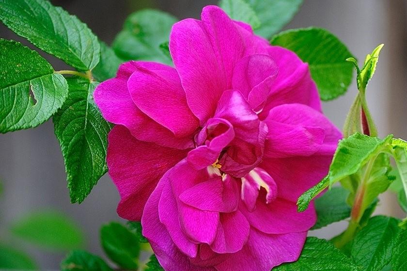 仲夏玫瑰---2_图1-6