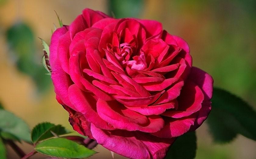 仲夏玫瑰---2_图1-12