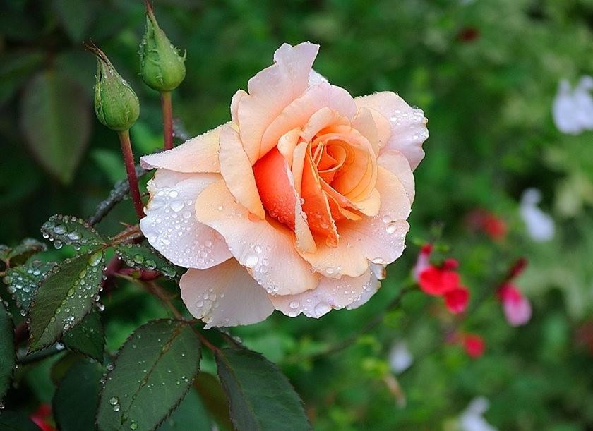 仲夏玫瑰---2_图1-15