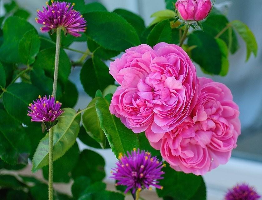仲夏玫瑰---2_图1-17