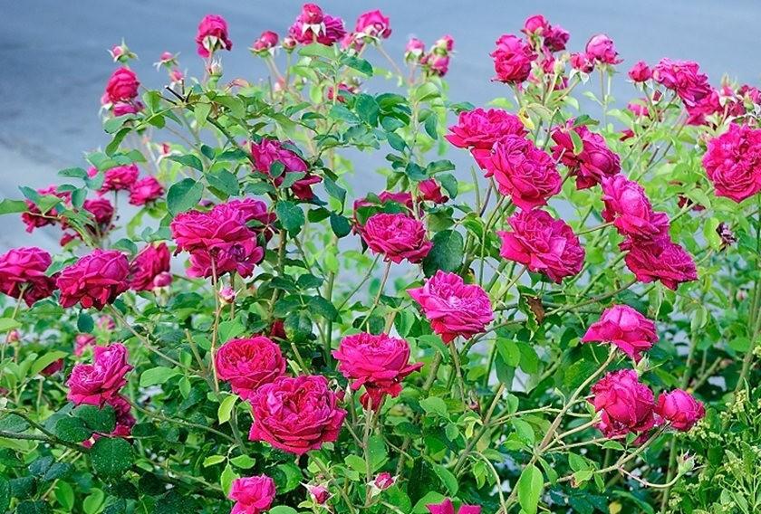 仲夏玫瑰---2_图1-19