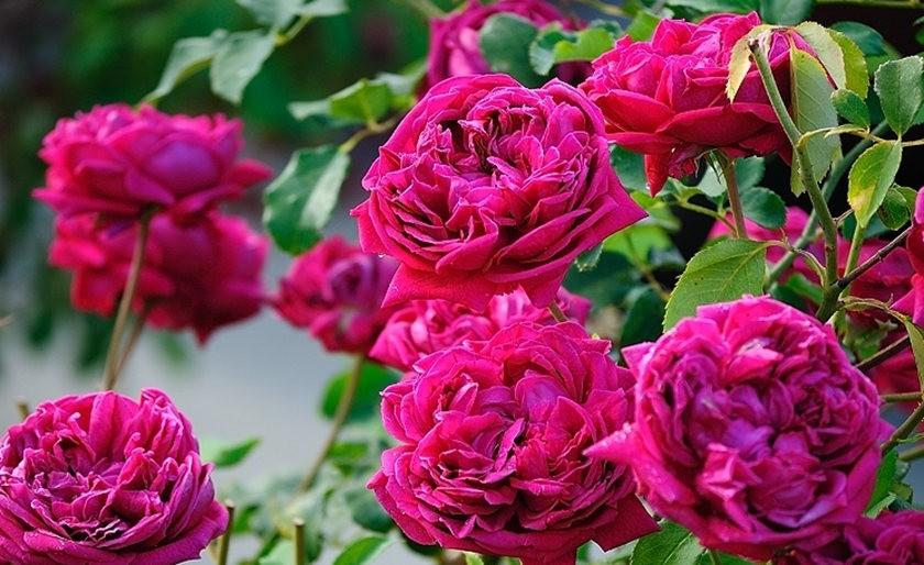 仲夏玫瑰---2_图1-20