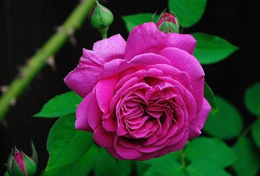 仲夏玫瑰---2_图1-21