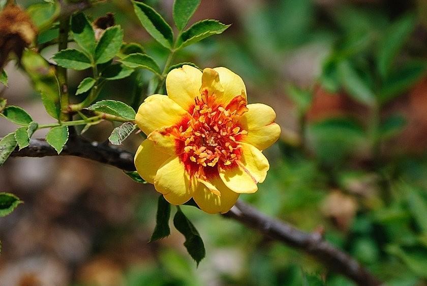 仲夏玫瑰---2_图1-22