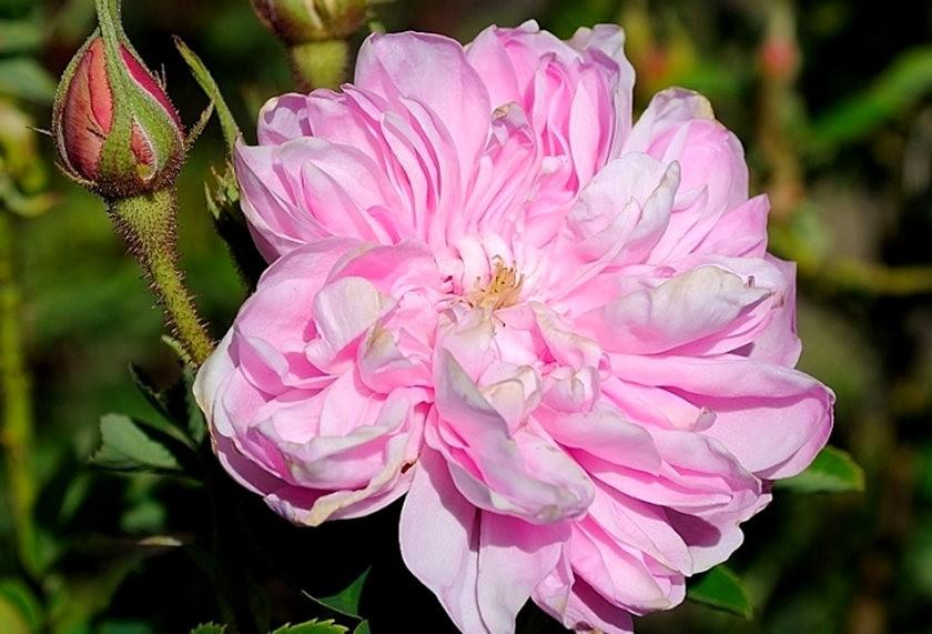 仲夏玫瑰---2_图1-23