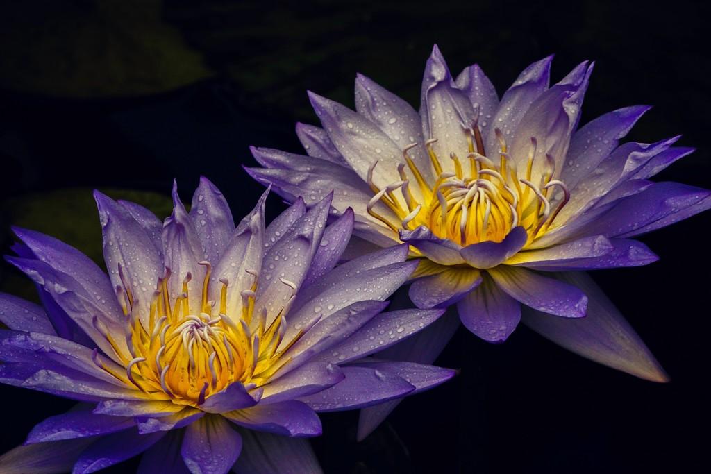 莲花,真诚和善_图1-13