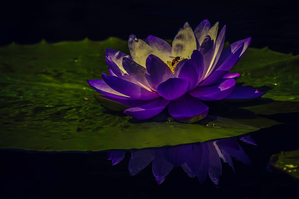 莲花,真诚和善_图1-11