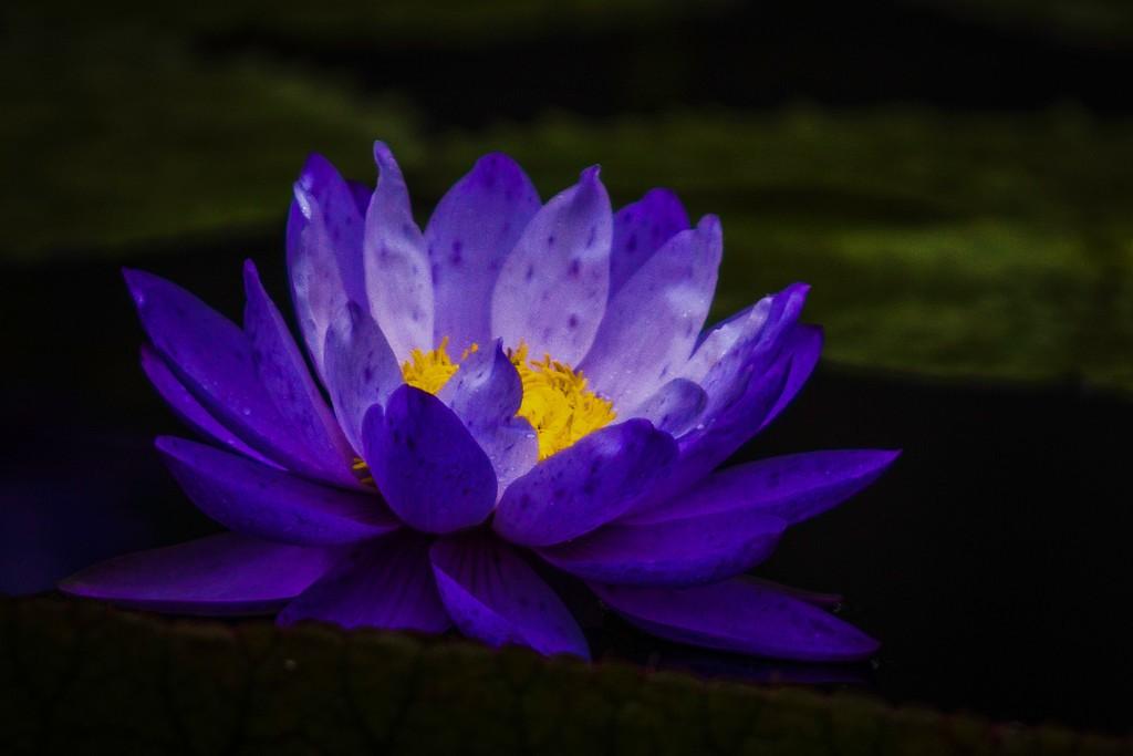 莲花,真诚和善_图1-2