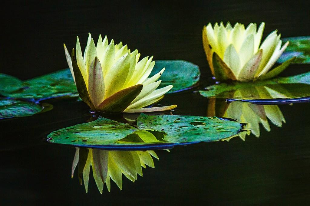 莲花,真诚和善_图1-1