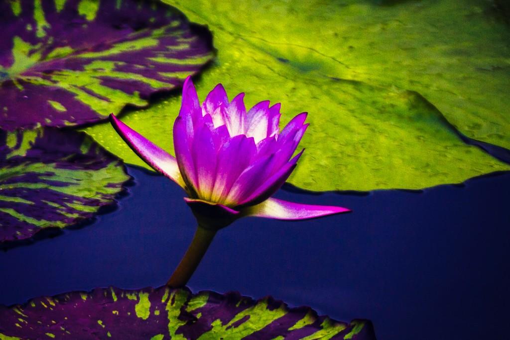 莲花,真诚和善_图1-6