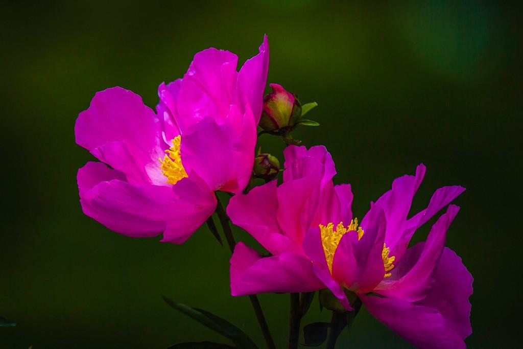 牡丹花,富贵华丽_图1-6