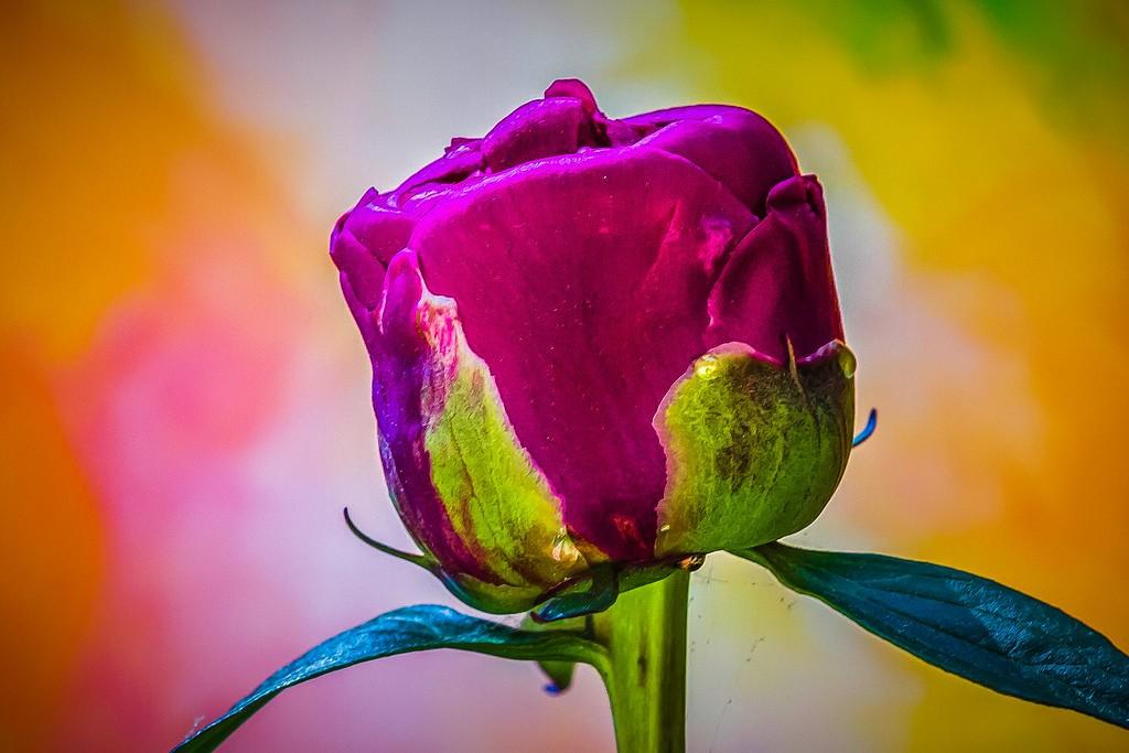 牡丹花,富贵华丽_图1-20