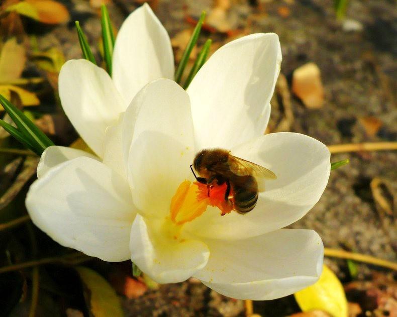 蜜蜂 番红花之情_图1-1