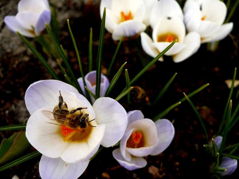 蜜蜂 番红花之情_图1-2