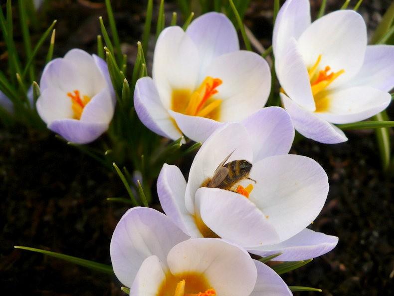 蜜蜂 番红花之情_图1-3