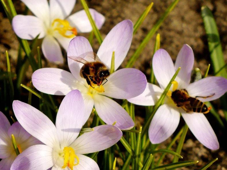 蜜蜂 番红花之情_图1-5