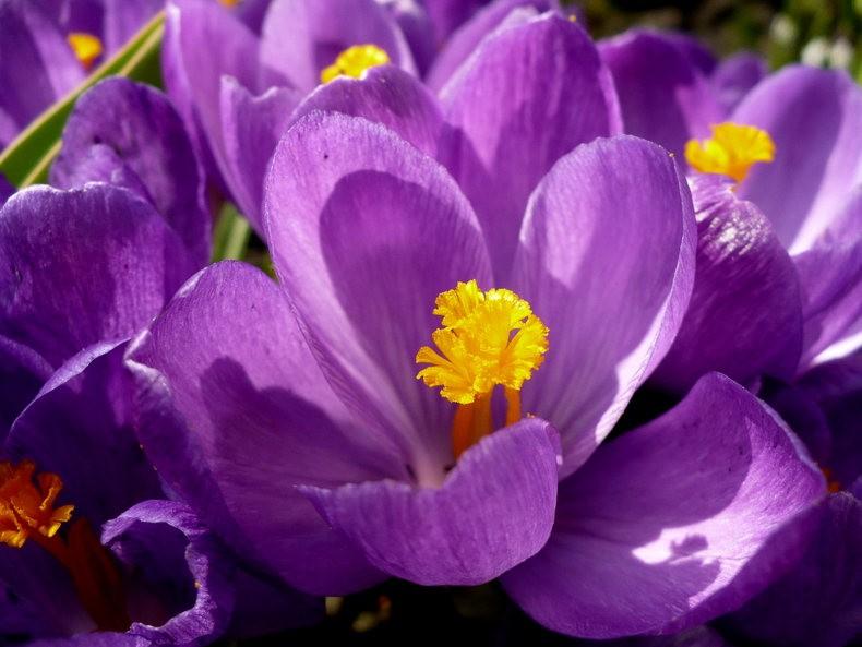 蜜蜂 番红花之情_图1-6