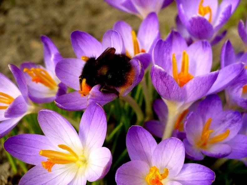 蜜蜂 番红花之情_图1-7