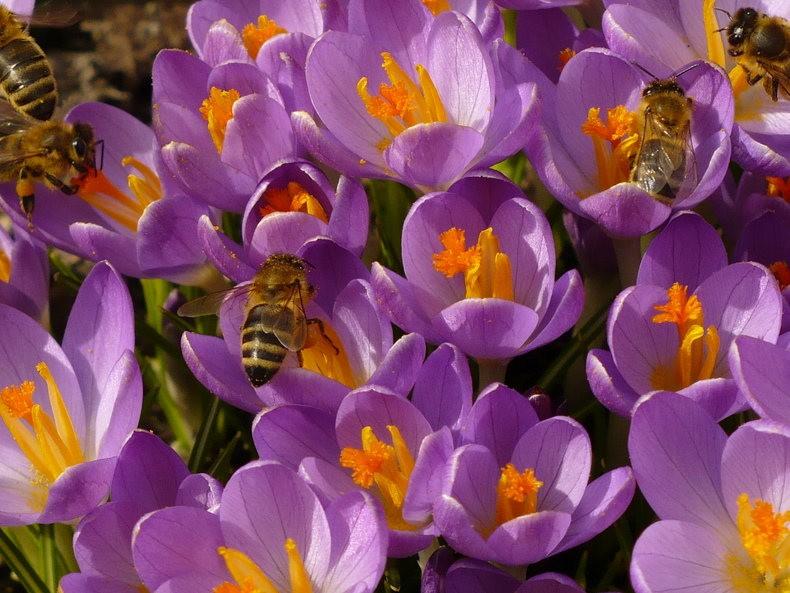 蜜蜂 番红花之情_图1-9
