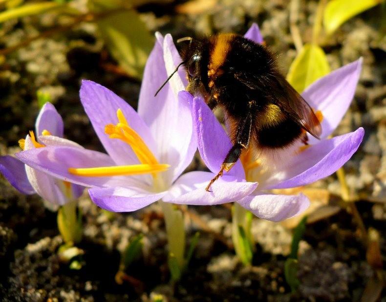 蜜蜂 番红花之情_图1-10