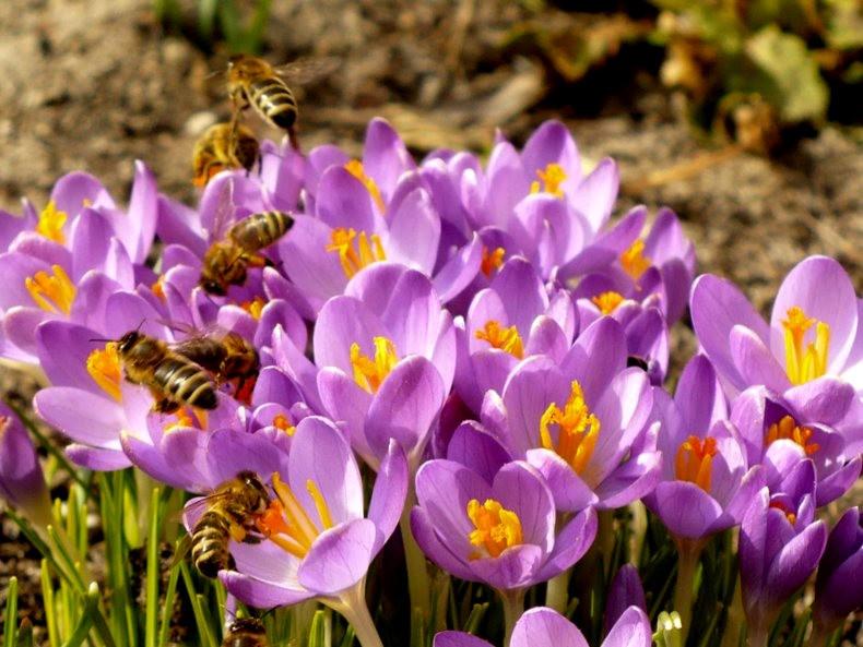 蜜蜂 番红花之情_图1-11