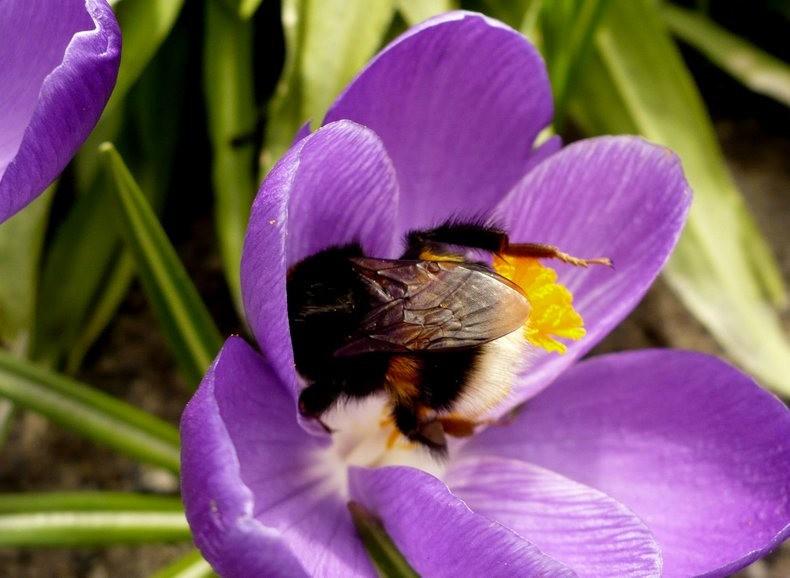 蜜蜂 番红花之情_图1-14