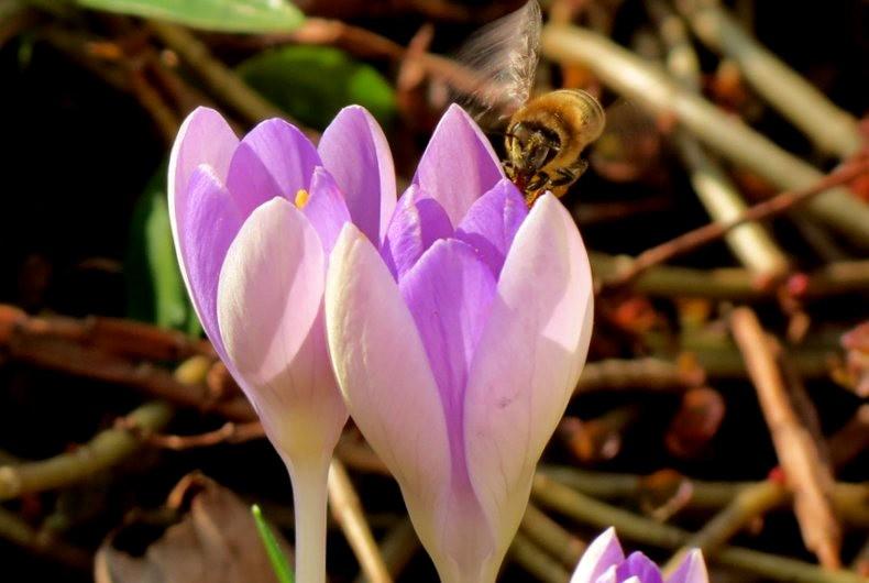 蜜蜂 番红花之情_图1-15