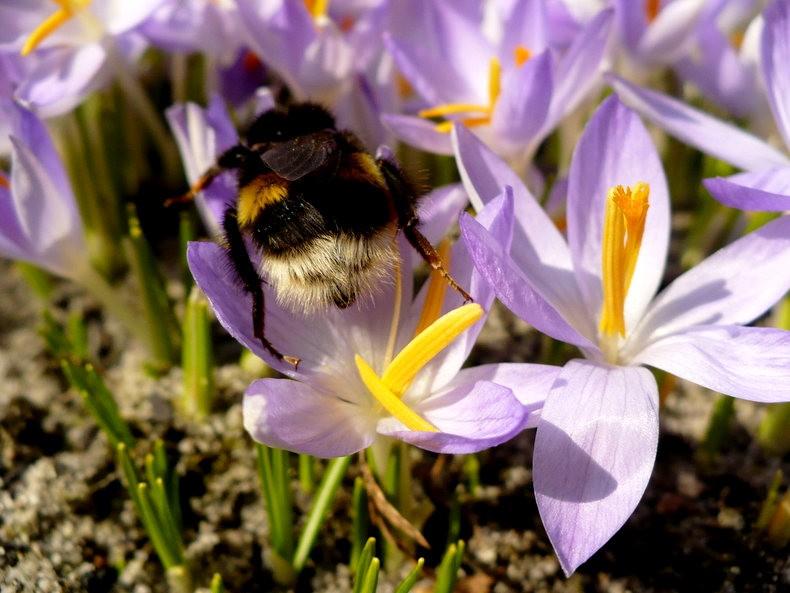 蜜蜂 番红花之情_图1-16
