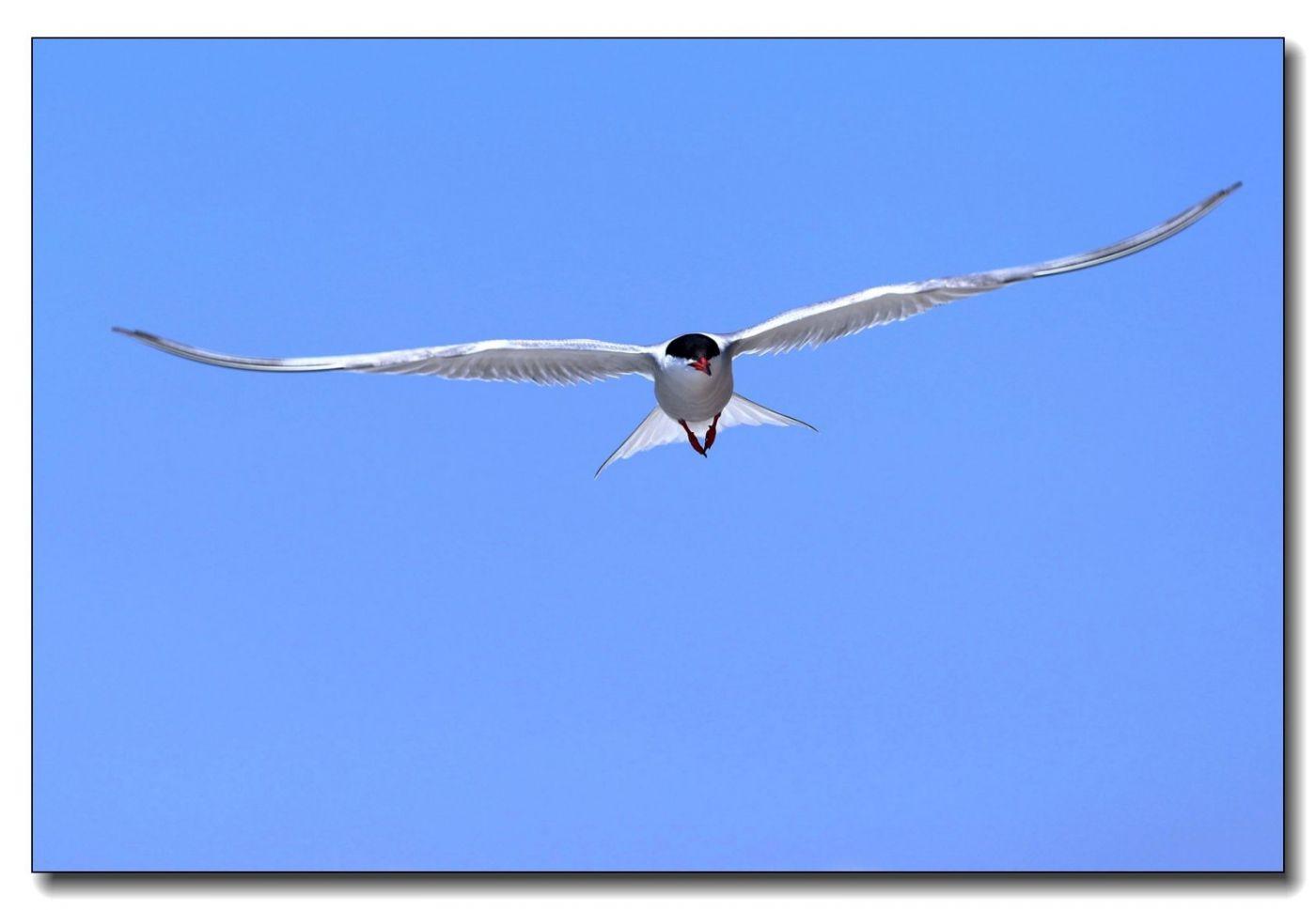 洛克威海滩拍鸟-燕鸥_图1-1