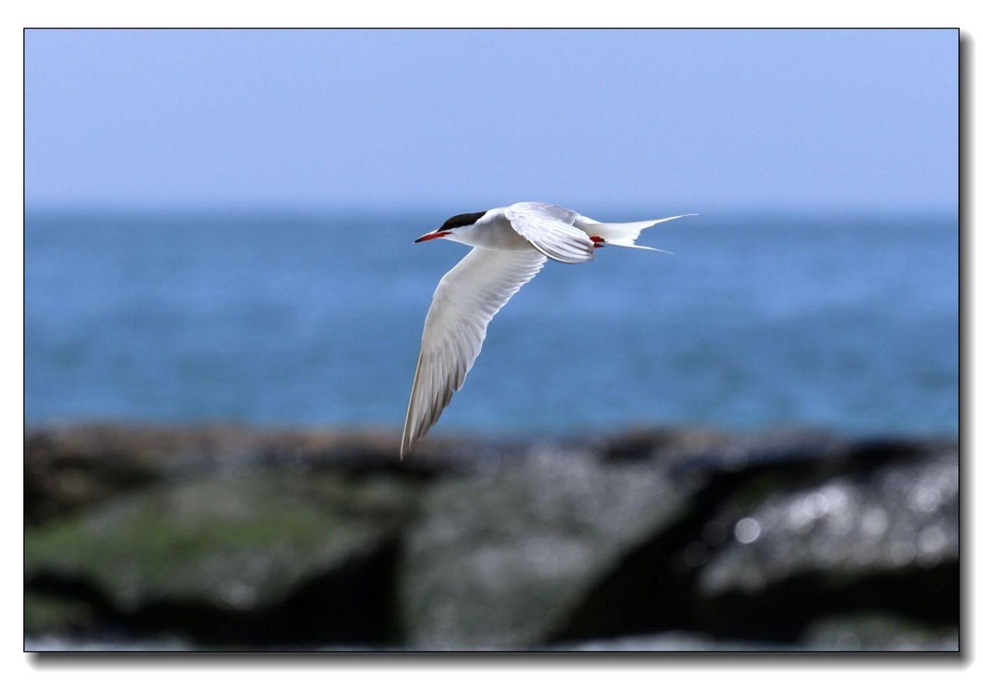洛克威海滩拍鸟-燕鸥_图1-2