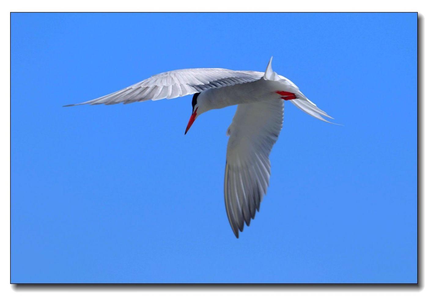 洛克威海滩拍鸟-燕鸥_图1-3