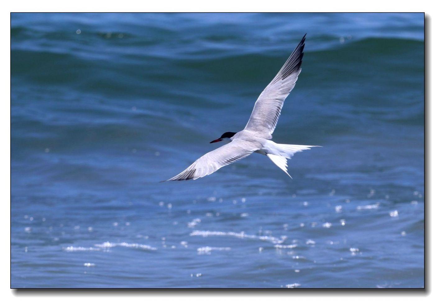 洛克威海滩拍鸟-燕鸥_图1-4