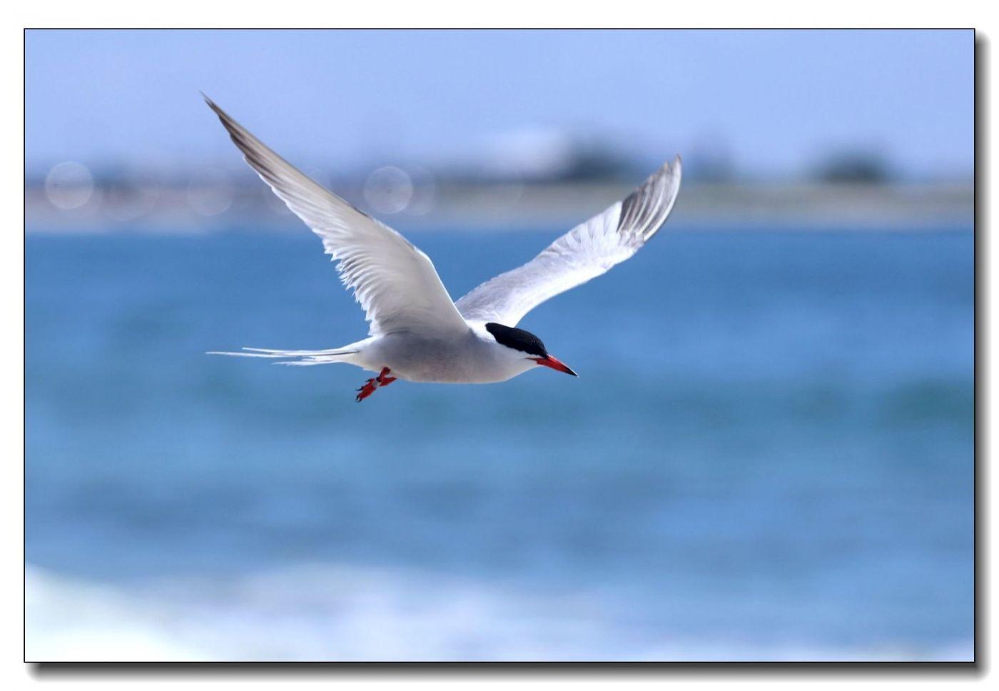 洛克威海滩拍鸟-燕鸥_图1-5
