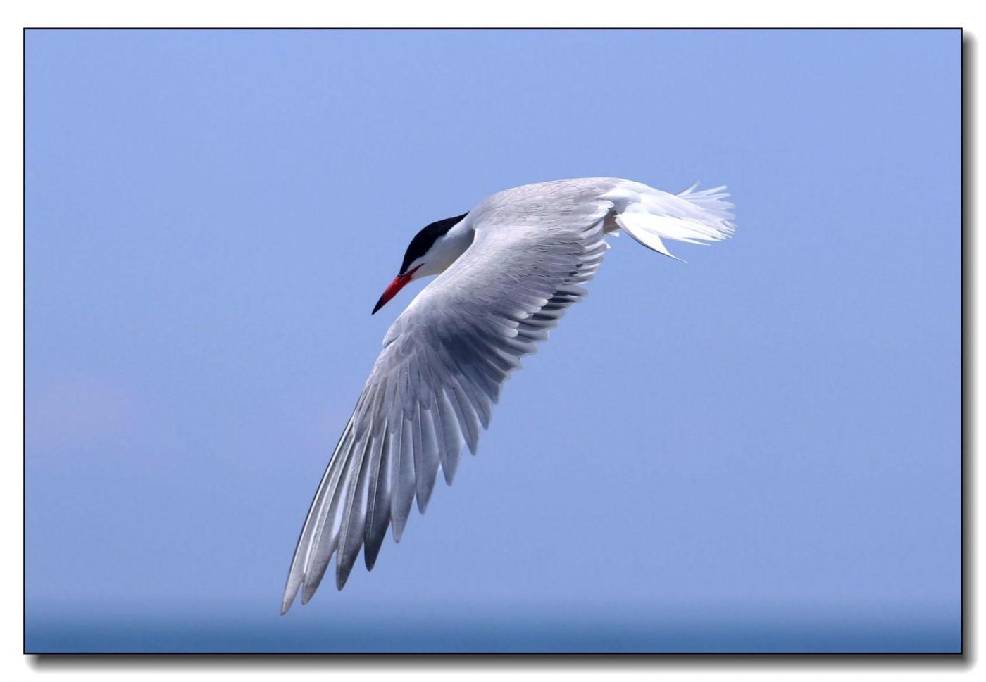 洛克威海滩拍鸟-燕鸥_图1-6