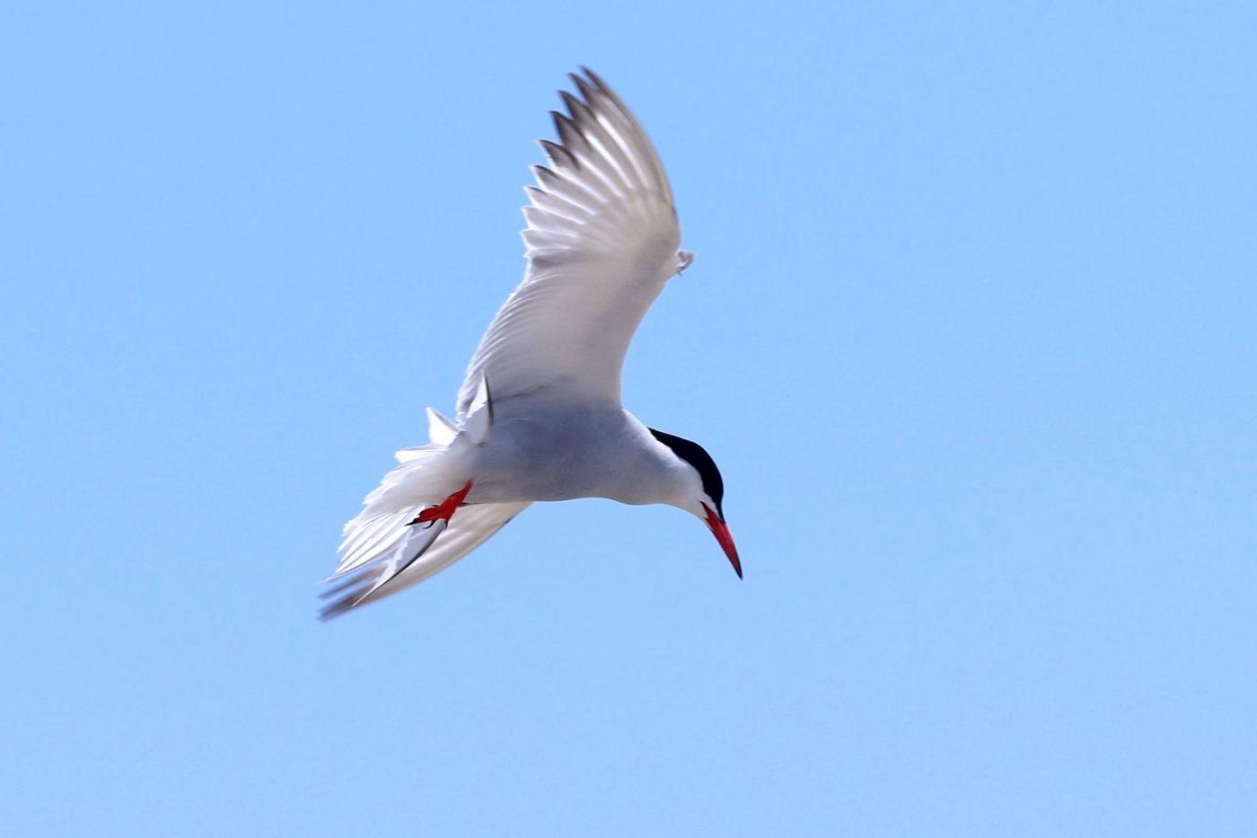 洛克威海滩拍鸟-燕鸥_图1-7