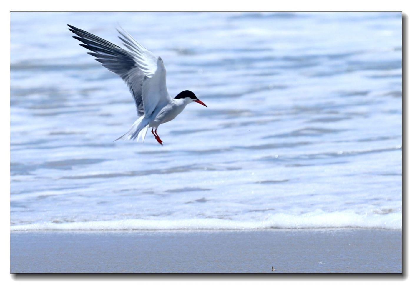 洛克威海滩拍鸟-燕鸥_图1-8