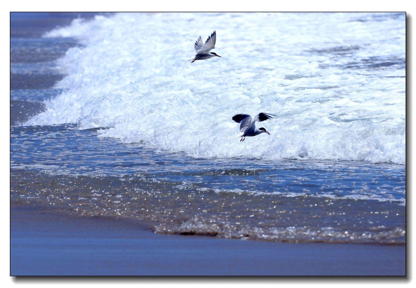 洛克威海滩拍鸟-燕鸥_图1-9