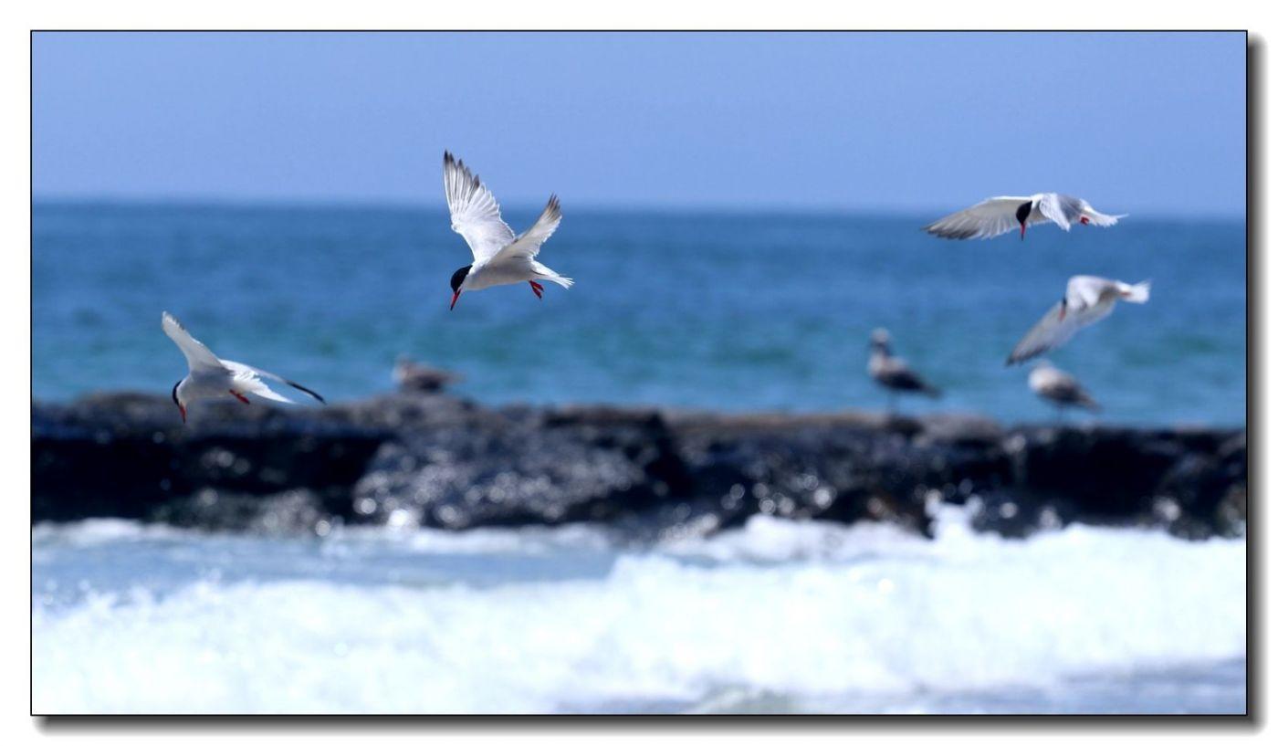 洛克威海滩拍鸟-燕鸥_图1-10