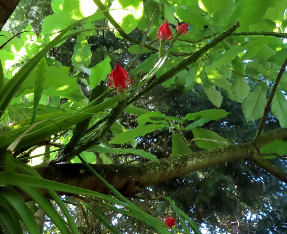 附生在树上的令箭荷花_图1-4