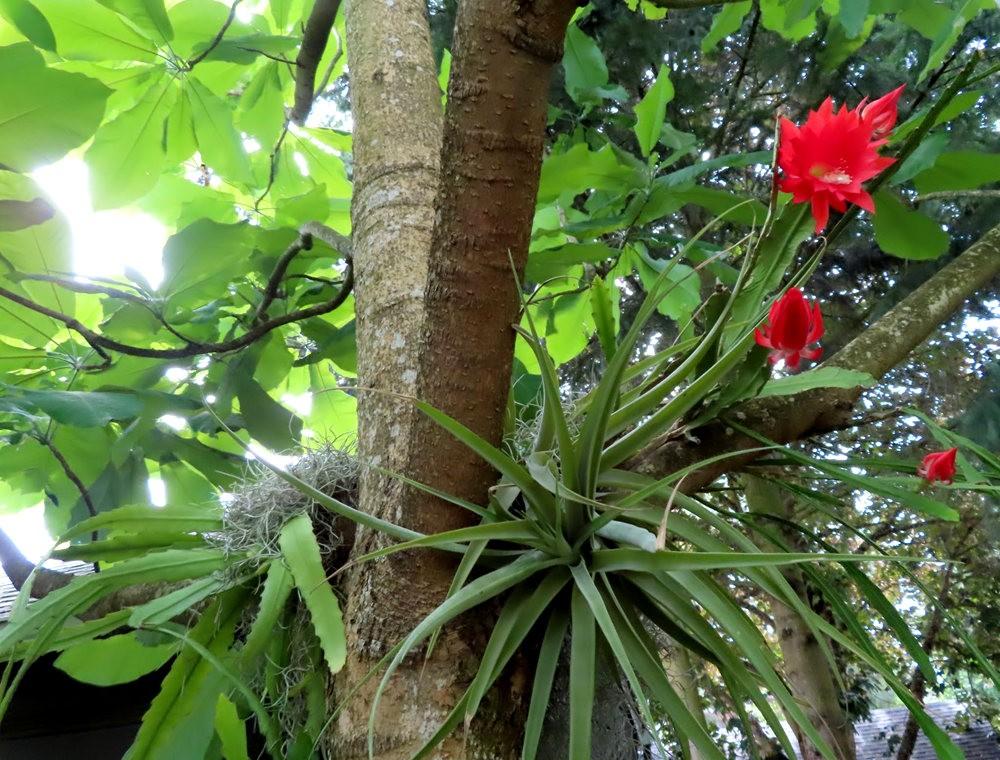 附生在树上的令箭荷花_图1-7