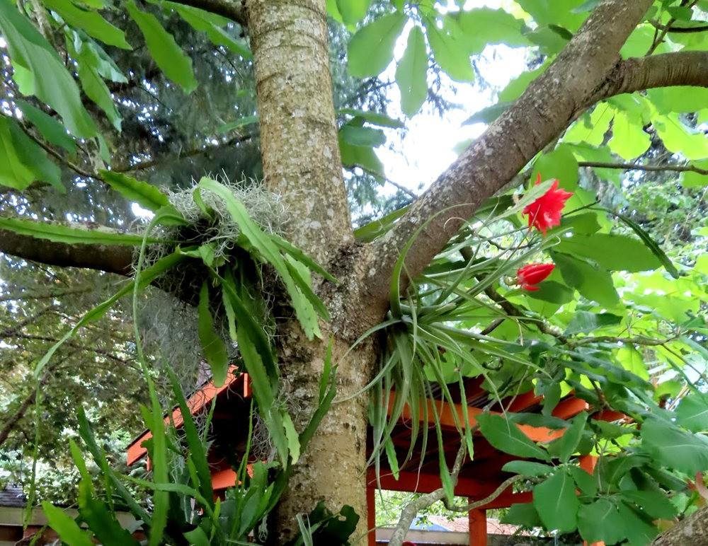 附生在树上的令箭荷花_图1-11