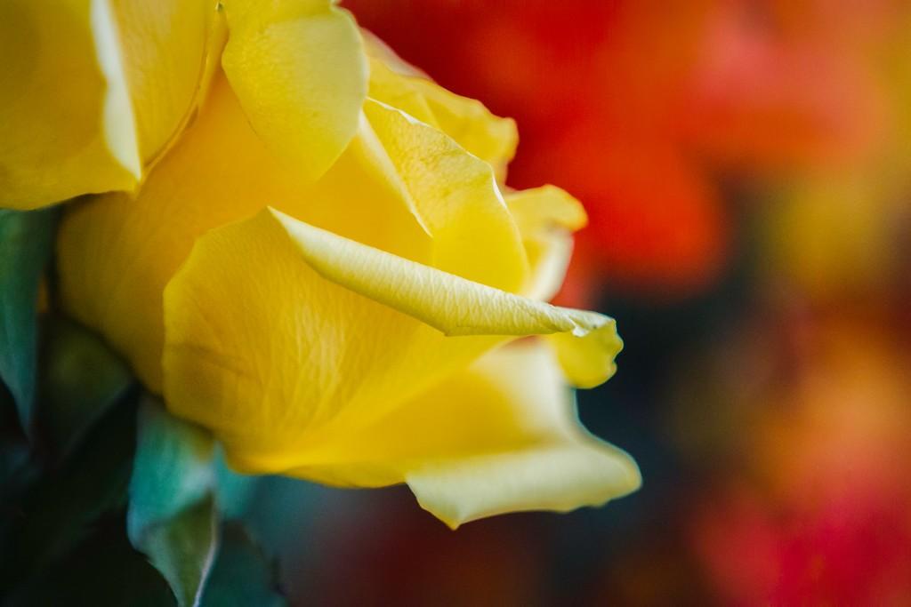 玫瑰花,内心祝福_图1-7
