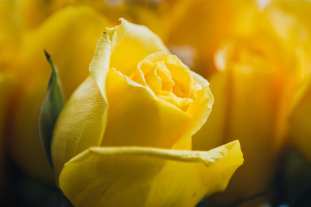 玫瑰花,内心祝福_图1-8