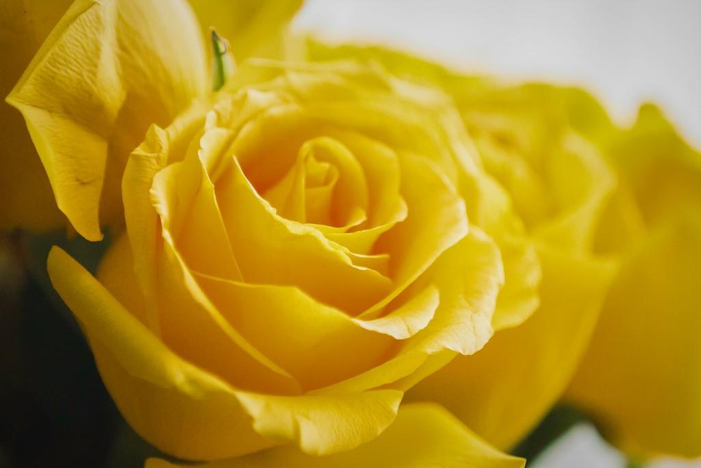 玫瑰花,内心祝福_图1-11