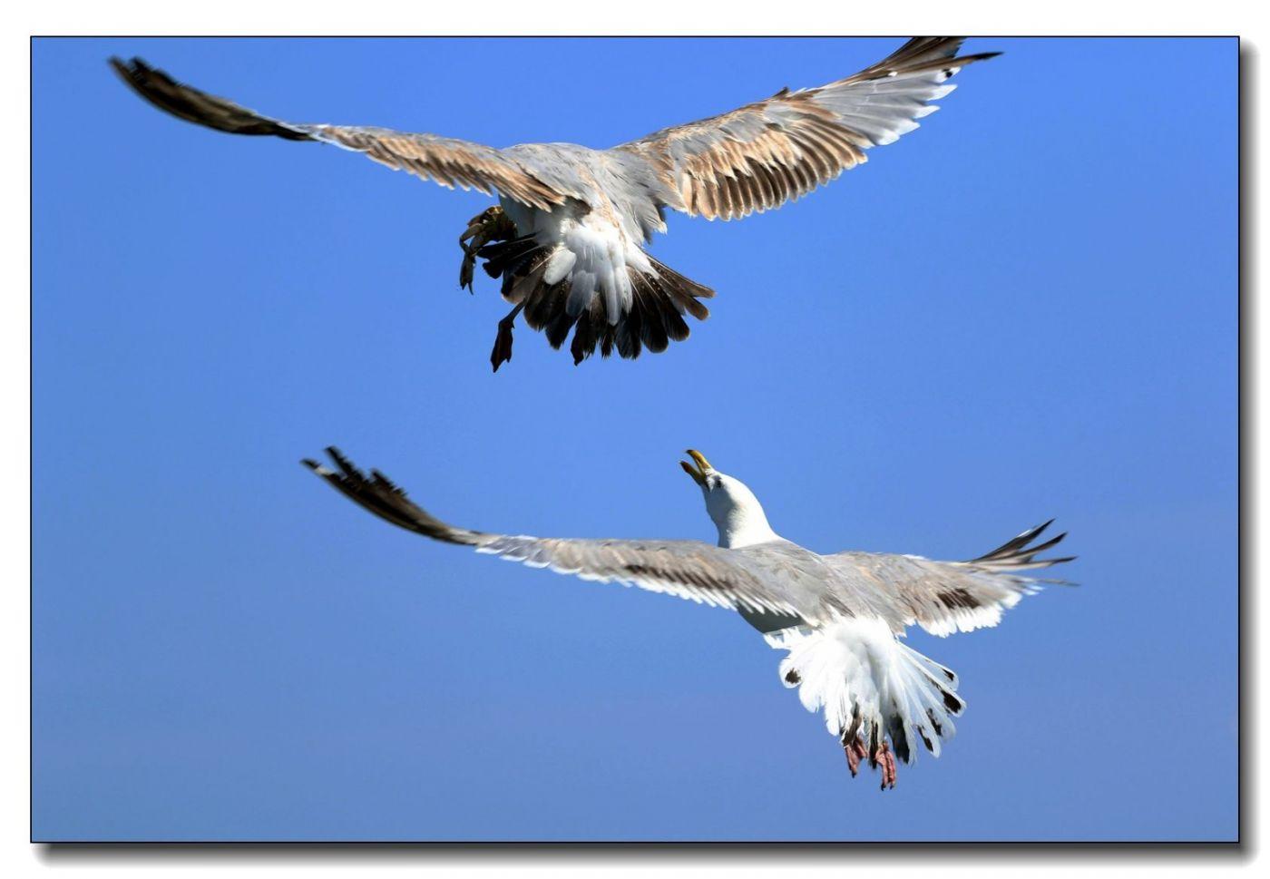 洛克威海滩拍鸟-银鸥_图1-1